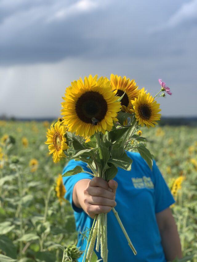 5th Annual Sunflower Fest at Maple Lawn Farms